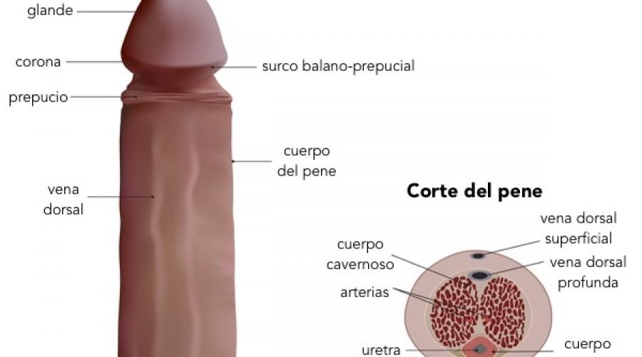 mecanismos de la erección
