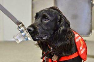 Perros entrenados detectan el cáncer de próstata