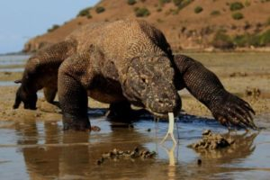 Encuentran en el dragón de Komodo sustancias contra la resistencia a los antibióticos