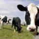 ¿Es la leche de vaca un factor de riesgo para el cáncer de próstata?